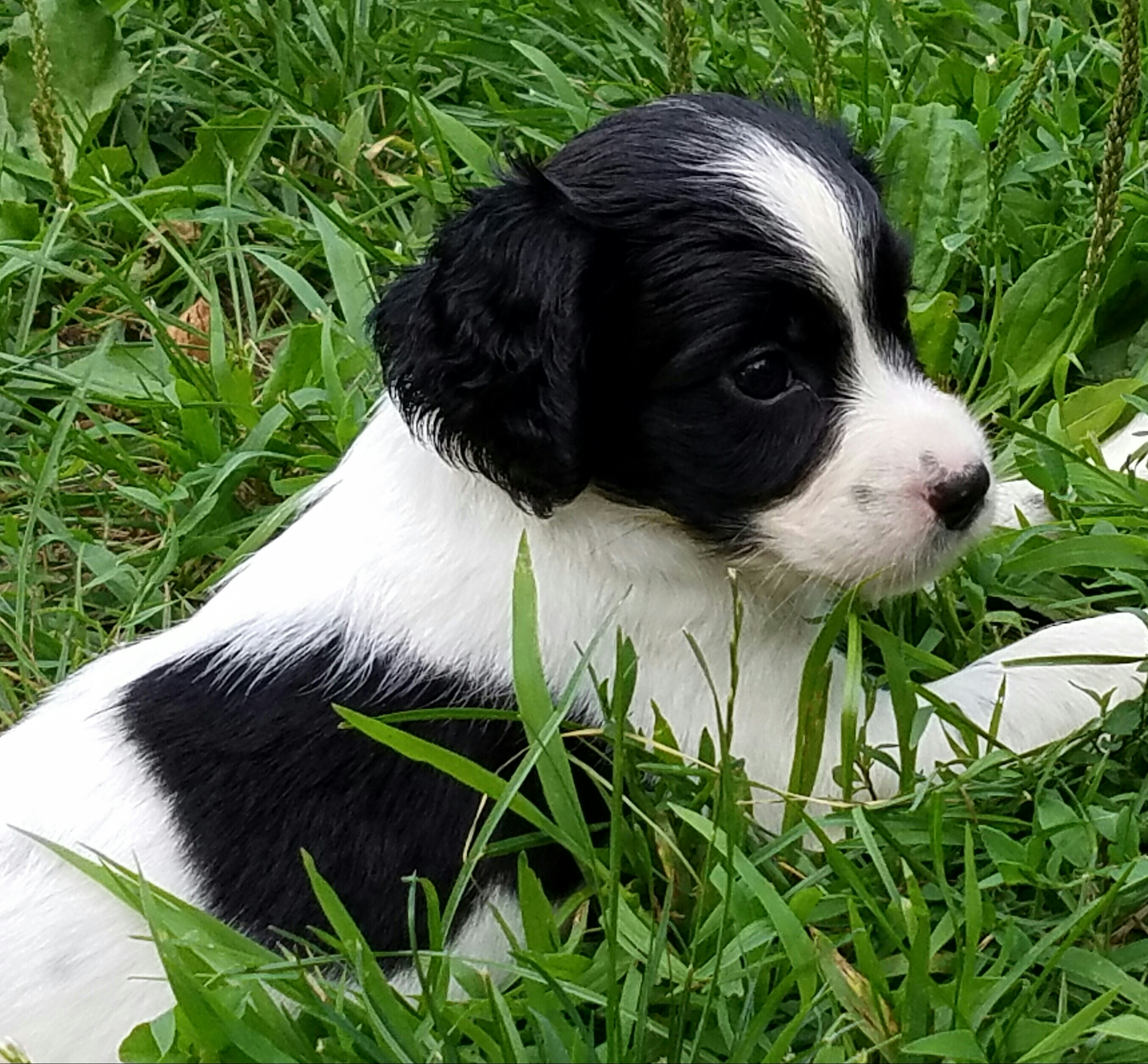 English Springer Spaniel Puppies - Woodland Kennel