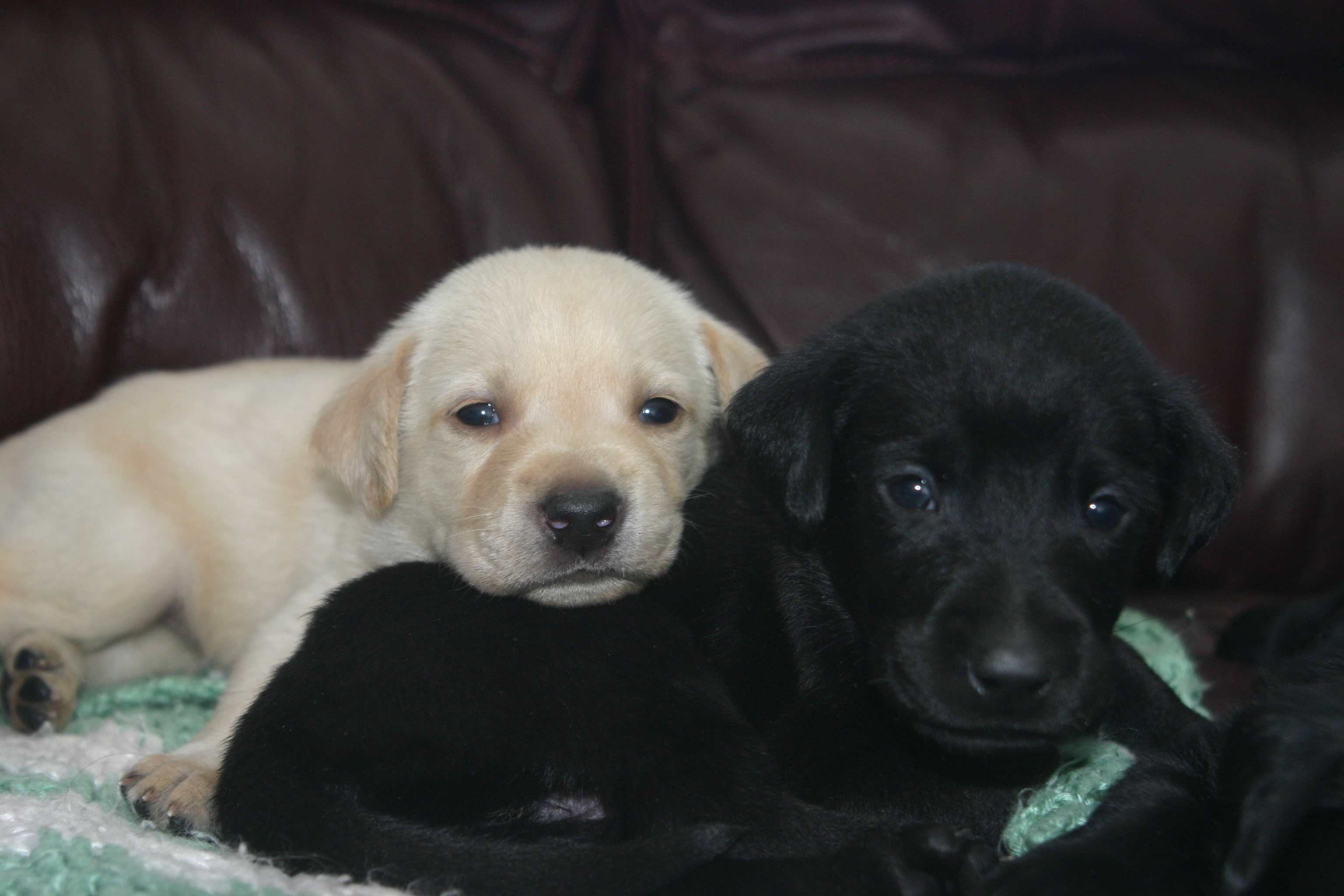 Lab Puppies Woodland Kennel Oxford Connecticut Ct