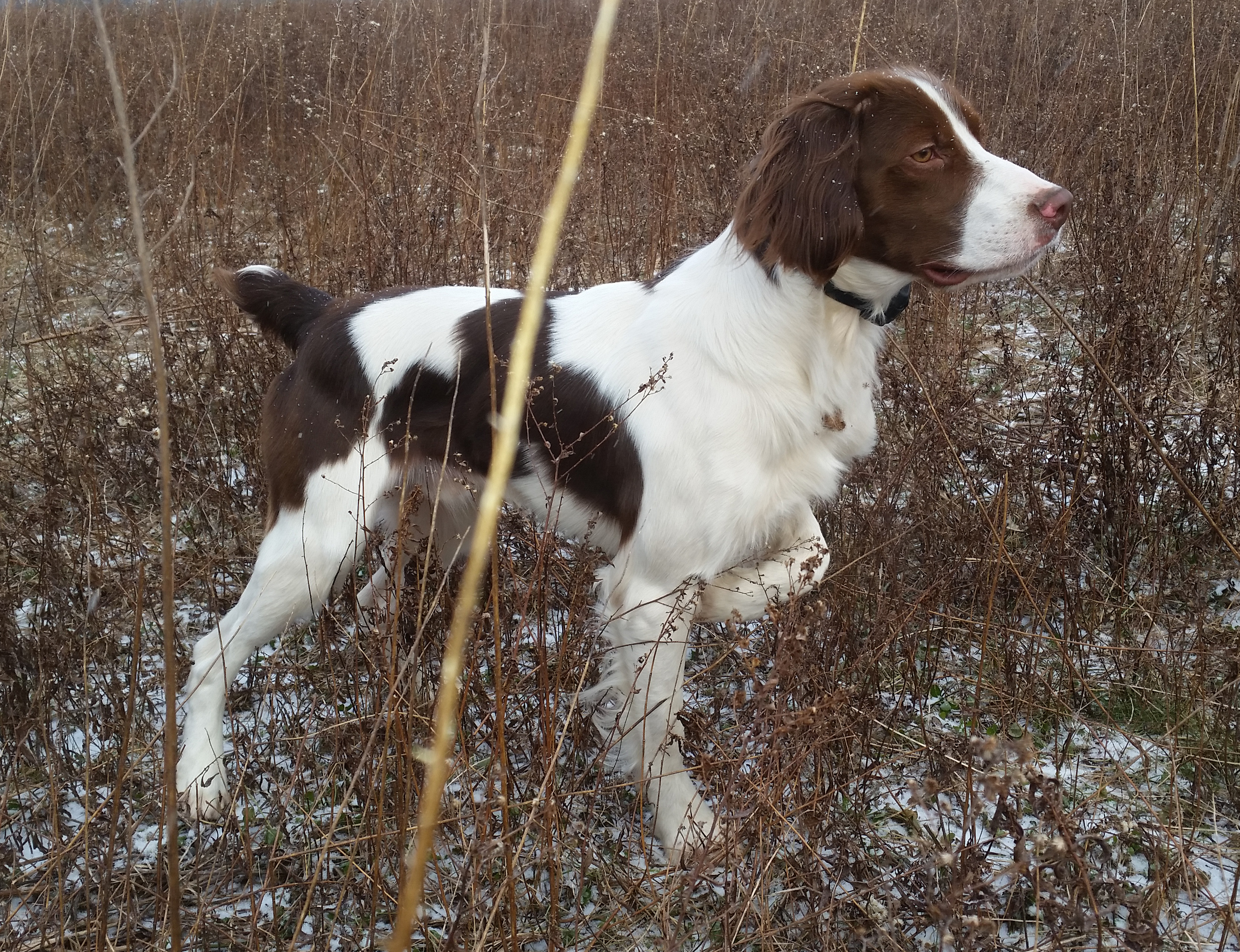 Training Hunting Dog To Heel